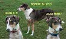 Three dogs standing on grass, in back Donor Melvin, in front clone Ken and clone Henry