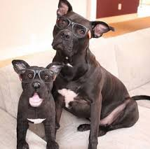 Big terrier and puppy seated, both wearing nerdy glasses